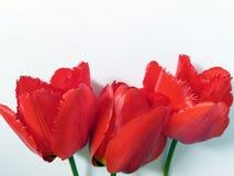 春天开花与郁金香的背景 免版税库存照片