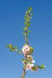 樱桃树反对天空的分支开花 库存图片