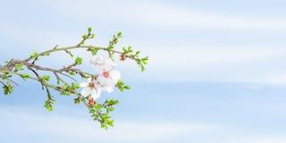 春天开花反对蓝天的杏树 库存照片