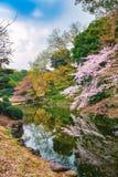 春天开花在新宿Gyoen公园的佐仓在东京 库存照片