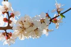 春天开花在树的绽放 宏观射击庭院 免版税库存照片