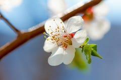 春天开花在树的绽放 宏观射击庭院 库存照片