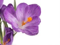春天开花在白色背景隔绝的番红花 图库摄影