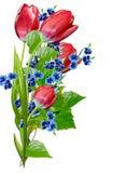 春天开花在白色背景隔绝的郁金香 免版税库存照片