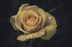 年轻春天开花在葡萄酒样式的玫瑰 免版税图库摄影