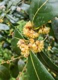 春天开花在雨以后的月桂树花 库存图片