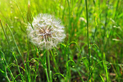 春天开花在绿草的蒲公英 库存照片