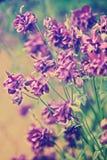 春天开花寻常的Aquilegia 免版税图库摄影