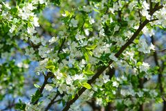 春天开花年轻树分支  库存照片