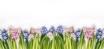 春天开花有新鲜的五颜六色的风信花的全景在白色木背景,顶视图 免版税图库摄影