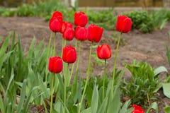 春天开花横幅-束红色郁金香花 选择聚焦 免版税图库摄影