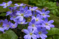 春天开花欧洲 高尚的mayflower 库存照片