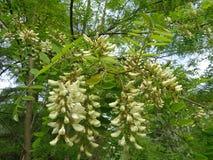 春天开花白色金合欢树 库存图片