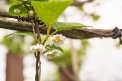 春天开花的中国木兰藤拉特 中华的Schisandra 免版税库存照片