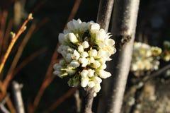 春天开花的李子 免版税库存图片