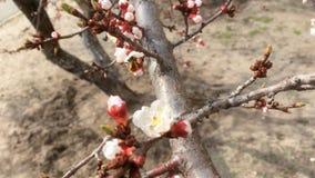 春天开花的杏子,基辅 影视素材