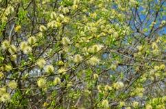 春天开花的杨柳 库存图片