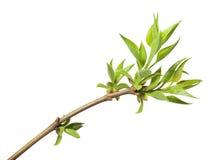 春天开花的枝杈上面  免版税库存照片