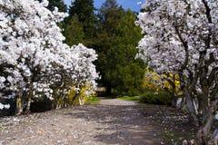 春天开花的树之间的道路 库存图片