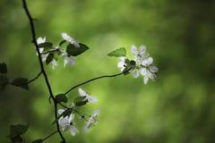 春天开花的树  免版税库存照片