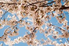 春天开花的樱桃树在盐湖城有天空蔚蓝背景 图库摄影