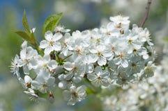 春天开花的樱桃树 库存图片