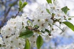 春天开花的樱桃树 库存照片