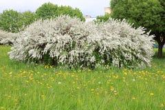 春天开花的灌木 免版税库存图片