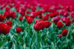 春天开花的红色郁金香领域在荷兰在春天在雨以后 五颜六色的郁金香 库存照片