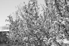 春天开花的苹果树在吉尔吉斯斯坦 免版税图库摄影