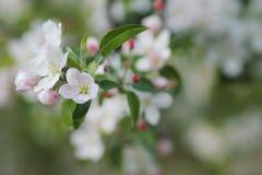 春天开花的苹果树 库存图片