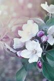 春天开花的苹果特写镜头开花-在淡色葡萄酒口气的天然泉花卉背景 库存图片