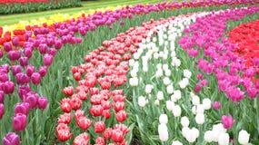 春天开花的郁金香花田在荷兰 免版税图库摄影