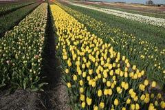 春天开花的郁金香花田在荷兰 库存图片