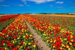 春天开花的郁金香领域 背景开花的樱桃接近的花卉日本春天结构树 免版税库存图片