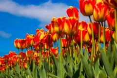 春天开花的郁金香领域 背景开花的樱桃接近的花卉日本春天结构树 库存图片