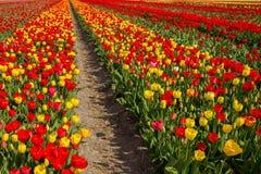 春天开花的郁金香领域 背景开花的樱桃接近的花卉日本春天结构树 图库摄影