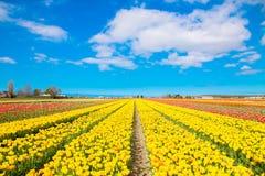 春天开花的郁金香领域 背景开花的樱桃接近的花卉日本春天结构树 免版税库存照片