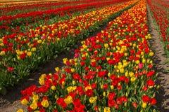春天开花的郁金香领域 背景开花的樱桃接近的花卉日本春天结构树 库存照片