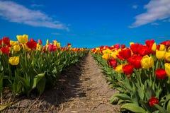 春天开花的郁金香领域 背景开花的樱桃接近的花卉日本春天结构树 免版税图库摄影
