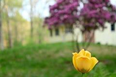 春天开花的郁金香 免版税库存照片