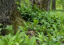 春天开花的铃兰在树附近的 库存图片