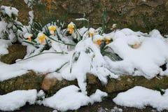 春天开花的黄水仙 图库摄影