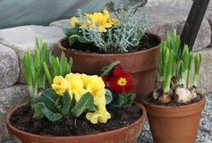 春天开花的水仙和樱草属在罐 免版税图库摄影