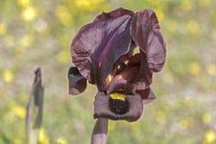 春天开花的黑暗的紫罗兰色虹膜 库存图片