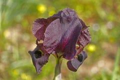 春天开花的黑暗的紫罗兰色虹膜 图库摄影