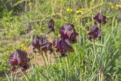 春天开花的黑暗的紫罗兰色虹膜 免版税库存照片