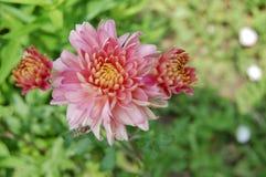春天开花的紫色桃红色牡丹 免版税库存图片