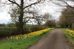 春天开花的黄水仙 库存照片