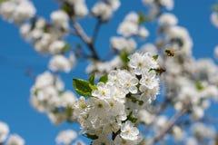 春天开花背景、绿色叶子和白花 免版税库存照片